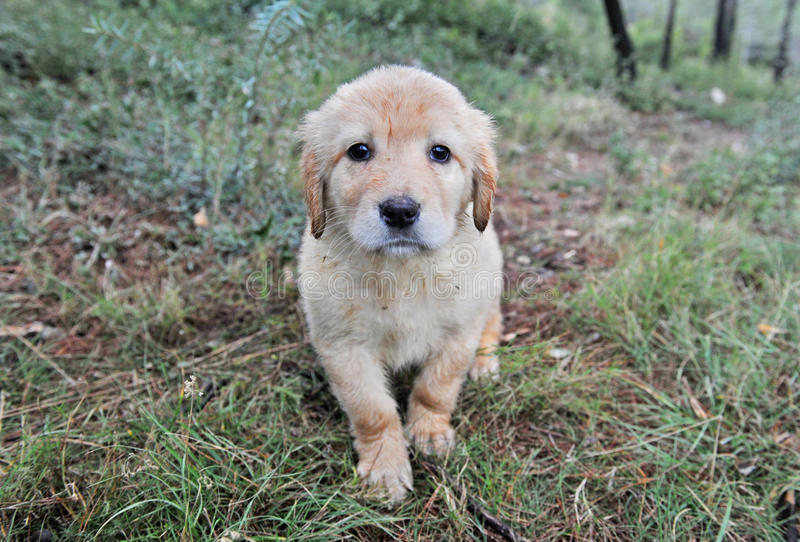 Puppy hovawart stock afbeelding