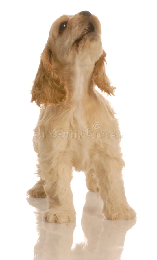 Puppy howling stock image