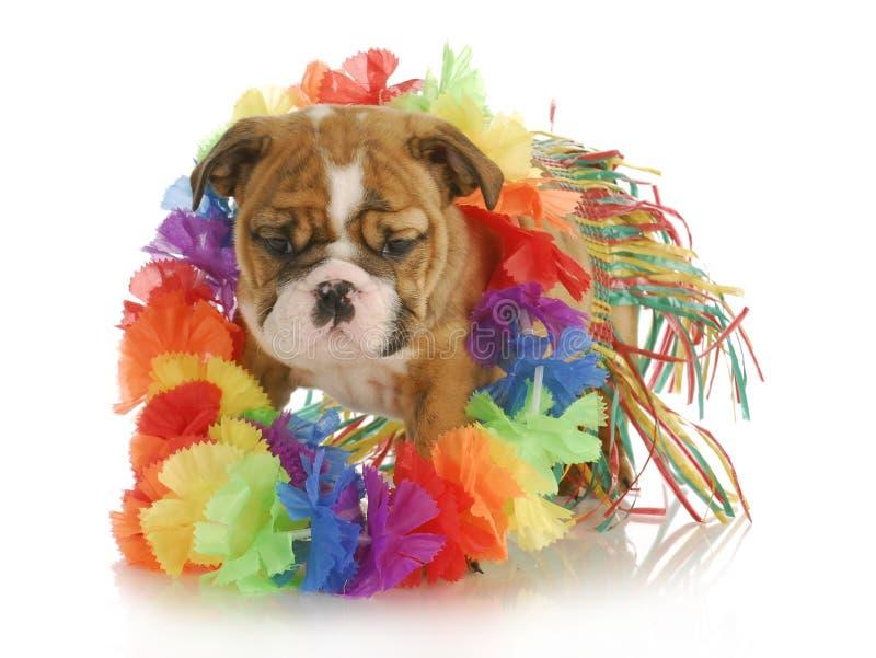 Puppy hula dancer. Puppy dressed like a hula dancer - english bulldog - 7 weeks old royalty free stock photos