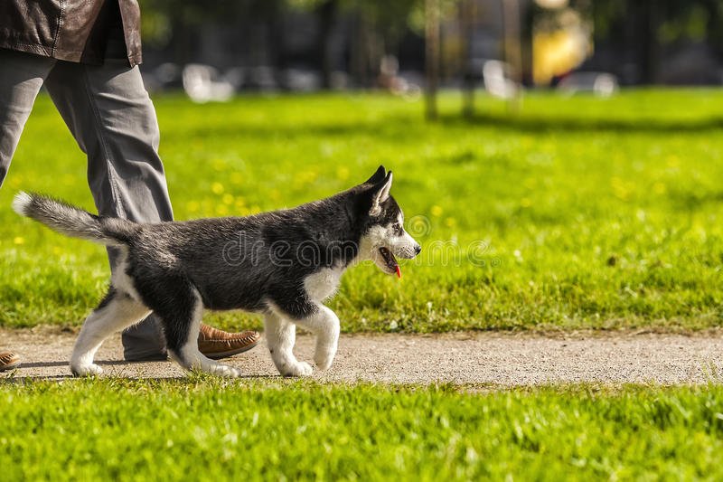 Puppy husky walking along the road at the feet of the master stock photo