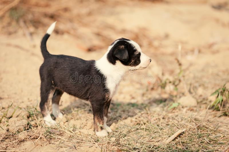 Puppy of indian domestic dogIndian pariah dog royalty free stock photography