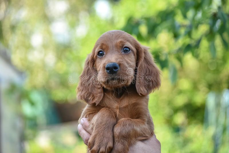 Puppy of Irish Red Setter. looking on the camera stock photography