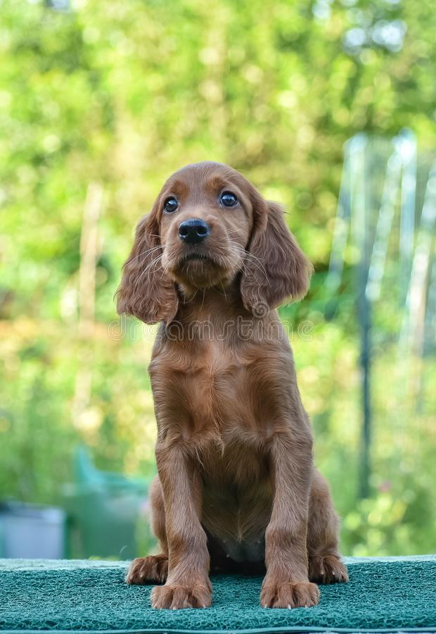 Puppy of Irish Red Setter. looking on the camera stock images