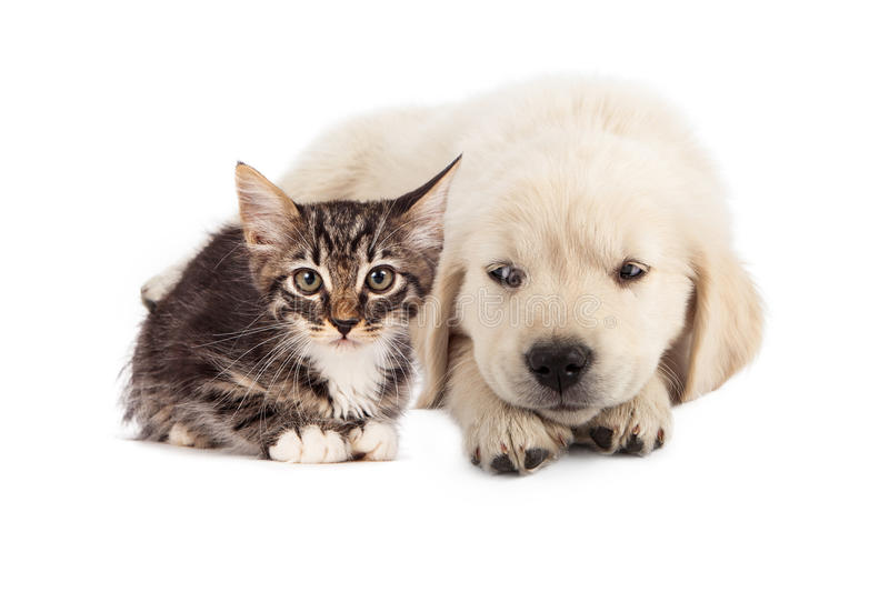 Puppy irritated with kitten. A cute white golden retriever puppy laying down and rolling his eyes to the side with an irritated expression at a small tabby stock image