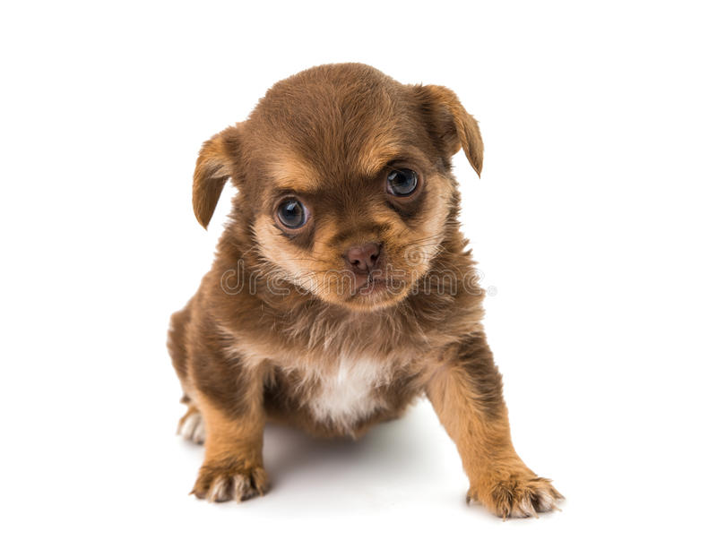 Download Puppy isolated stock image. Image of bodyguard, canine - 34427379