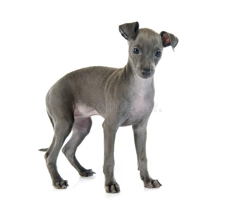Puppy Italiaanse windhond stock foto