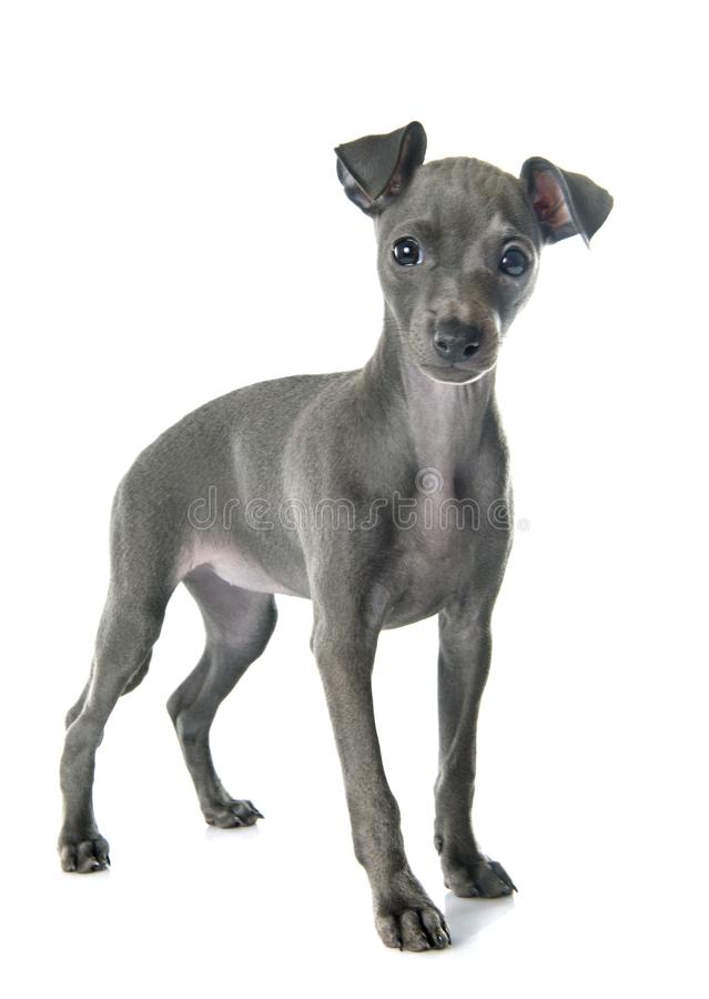 Puppy italian greyhound stock image