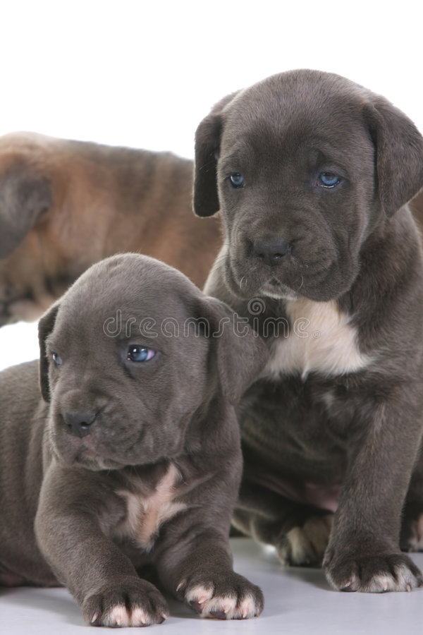 Download Puppy Italian Mastiff Cane Corso Stock Photo - Image: 8403710