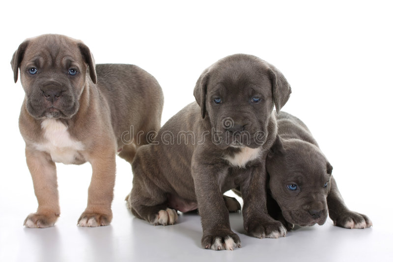 Download Puppy Italian Mastiff Cane Corso Stock Photo - Image of looking, grey: 8403936