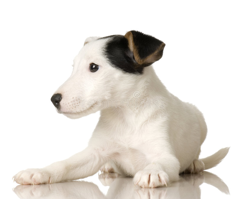 Download Puppy Jack russel stock image. Image of jack, adorable - 2646741