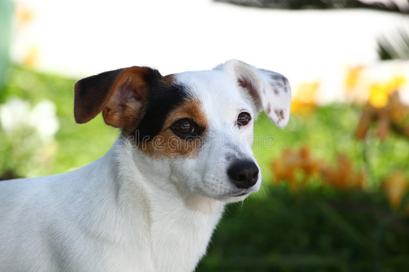 Download Puppy jack russel terrier stock image. Image of carnivore - 28669071