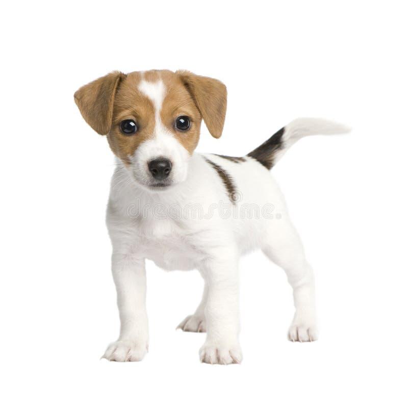 Puppy Jack Russell (7 weken) stock afbeeldingen