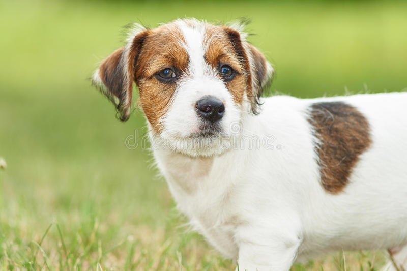 Puppy Jack russell terrier is playing in the garden on the grass. royalty free stock image
