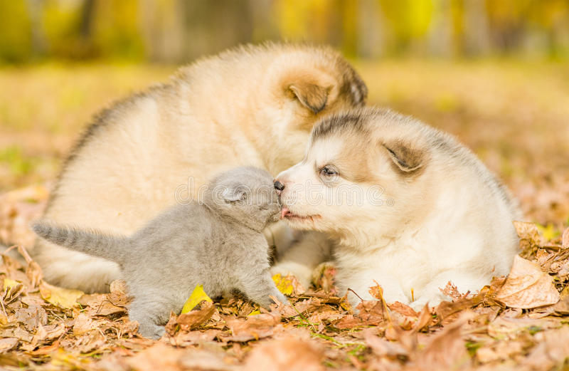 Puppy kisses kitten in autumn park stock images