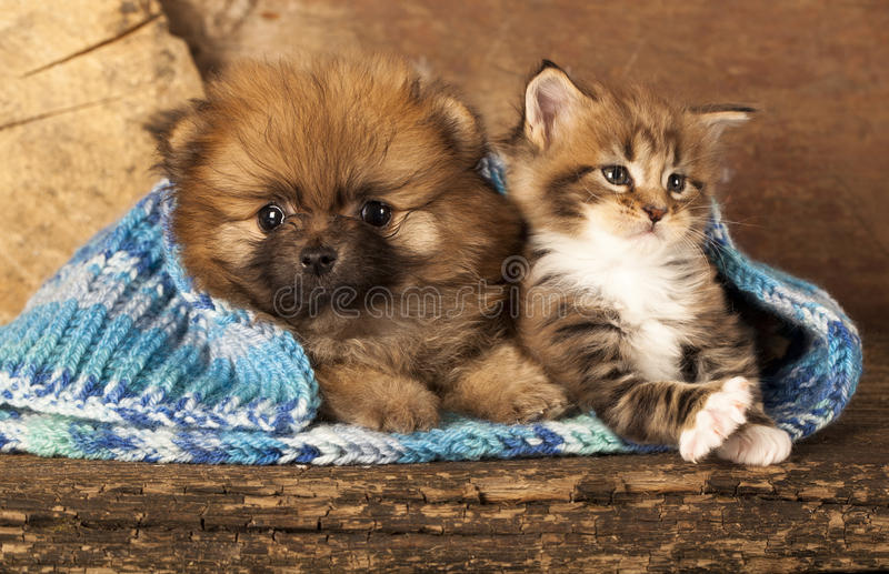 Puppy and kitten. Spitz puppy and kitten breeds Maine Coon, Cat and dog royalty free stock photo