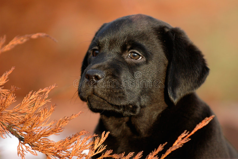 Puppy Labrador retriever stock photos