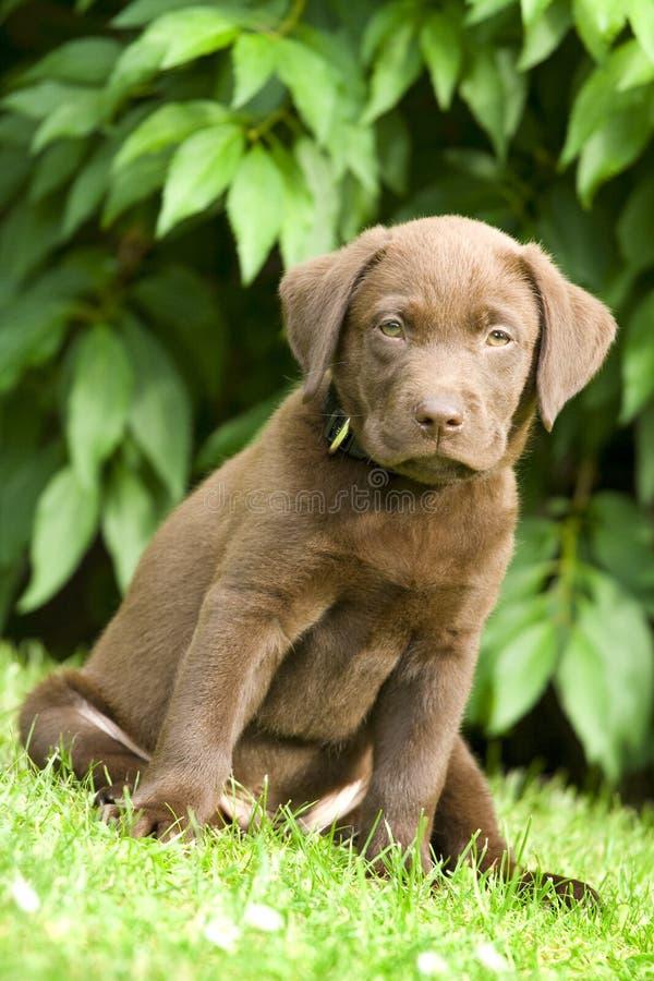 Puppy - labrador retriever. Puppy dog (labrador retriever) sit on green grass royalty free stock photos