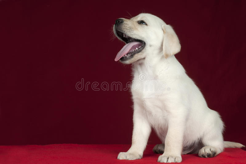 Puppy Labrador Retriever royalty free stock photo