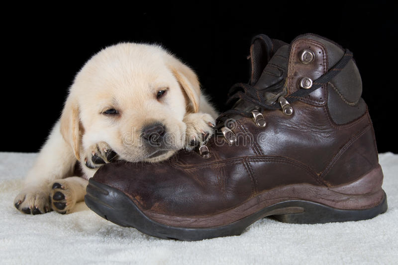 Puppy labrador sleeping on old walking shoe royalty free stock photography