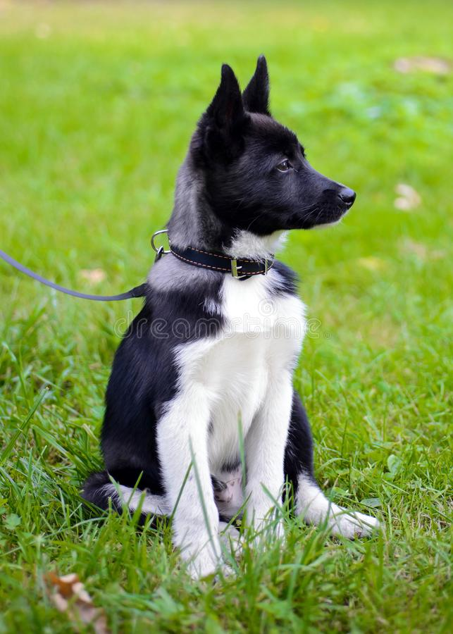 Puppy Laika op het gras stock afbeelding
