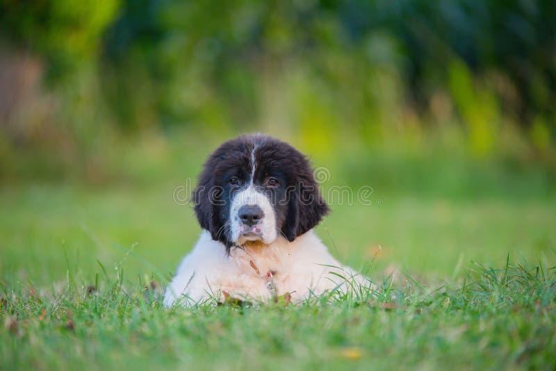 Puppy landseer dog stock photos
