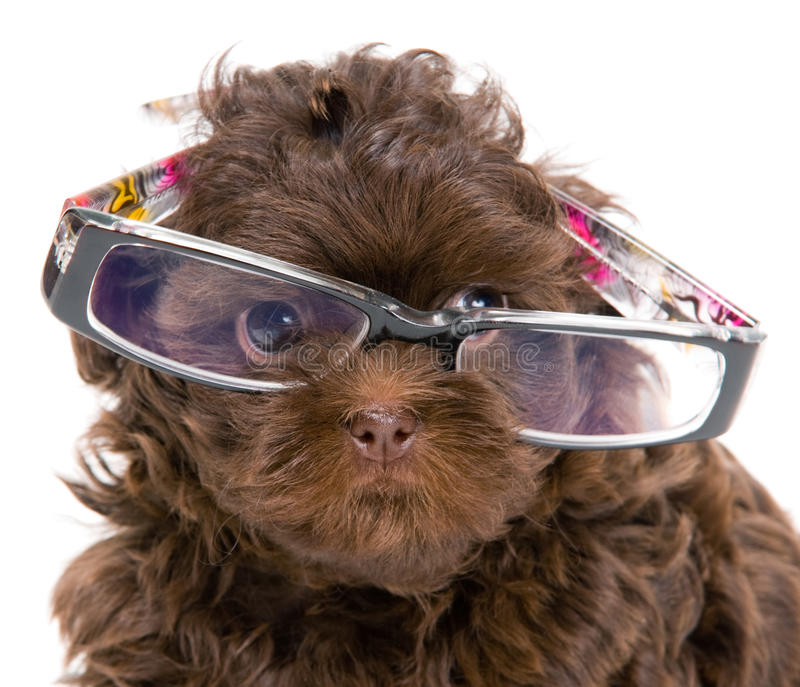 Puppy of the lapdog and glasses stock image