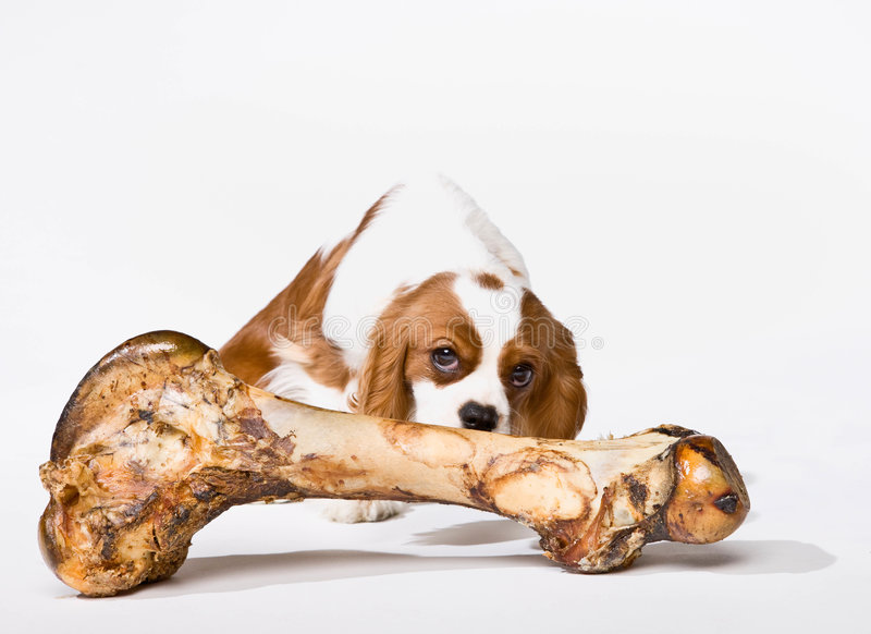 Puppy With Large Bone Royalty Free Stock Image