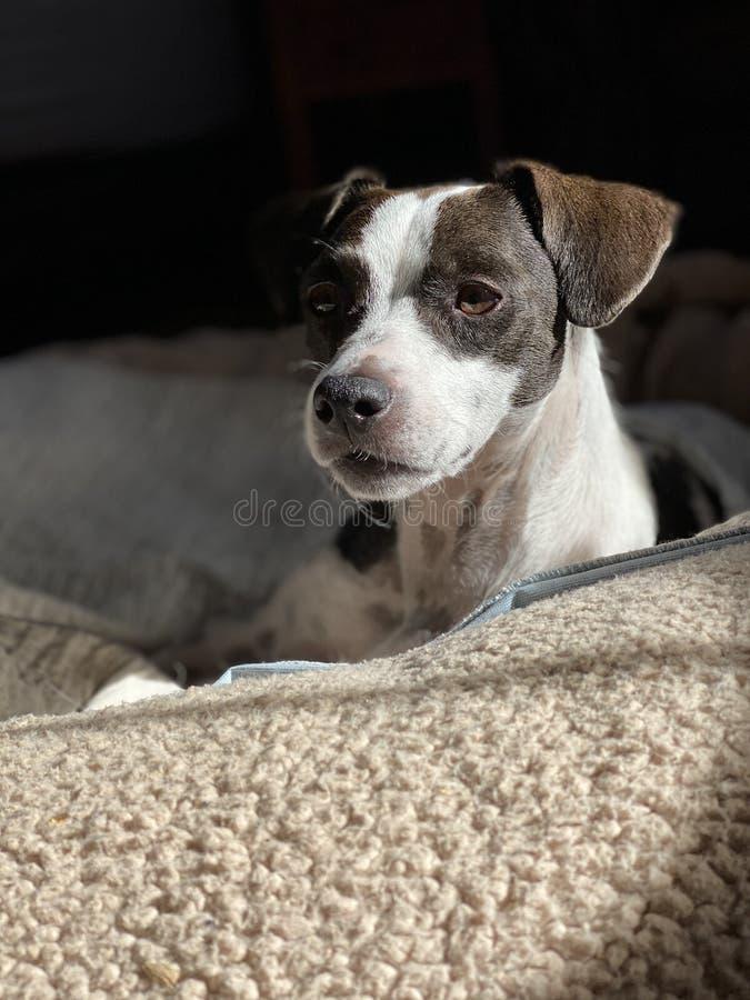 Beagle mix puppy portrait royalty free stock photo