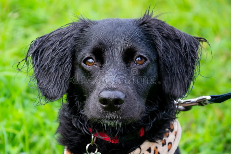 Puppy listens to the owner and performs functions on the command. Obedient and intelligent dog on a walk. Whiskers, portrait, closeup. Education, cynology royalty free stock photo