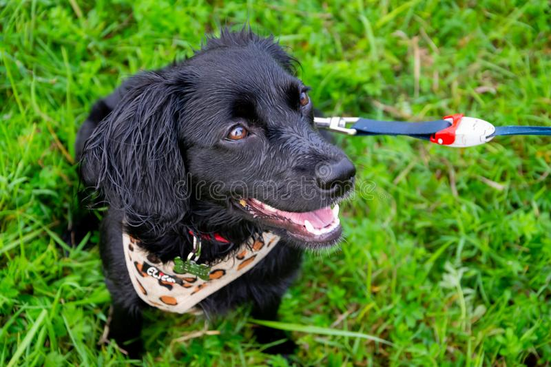 Puppy listens to the owner and performs functions on the command. Obedient and intelligent dog on a walk. Whiskers, portrait, closeup. Education, cynology stock photography