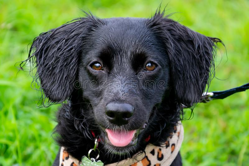 Puppy listens to the owner and performs functions on the command. Obedient and intelligent dog on a walk. Whiskers, portrait, closeup. Education, cynology stock image