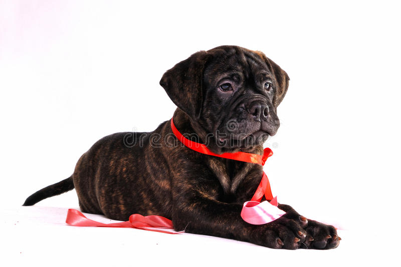 Download Puppy Looking stock photo. Image of alerted, brindle - 14532052