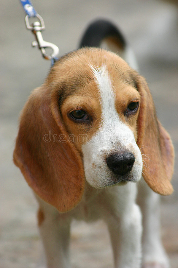 Download Puppy Looking Stock Images - Image: 231564