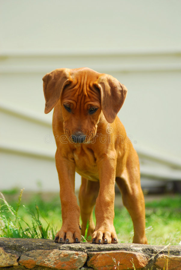 Puppy looking down stock photos