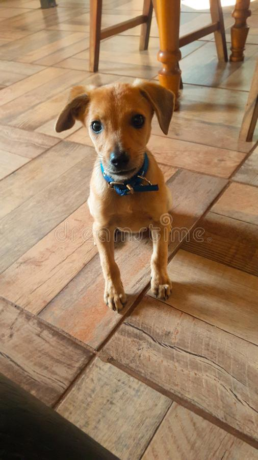 Puppy looking innocently royalty free stock photos