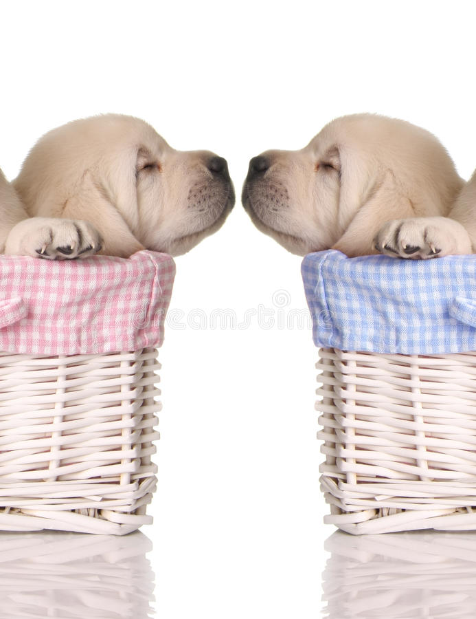 Puppy love. Sleeping puppies in pink and blue baskets