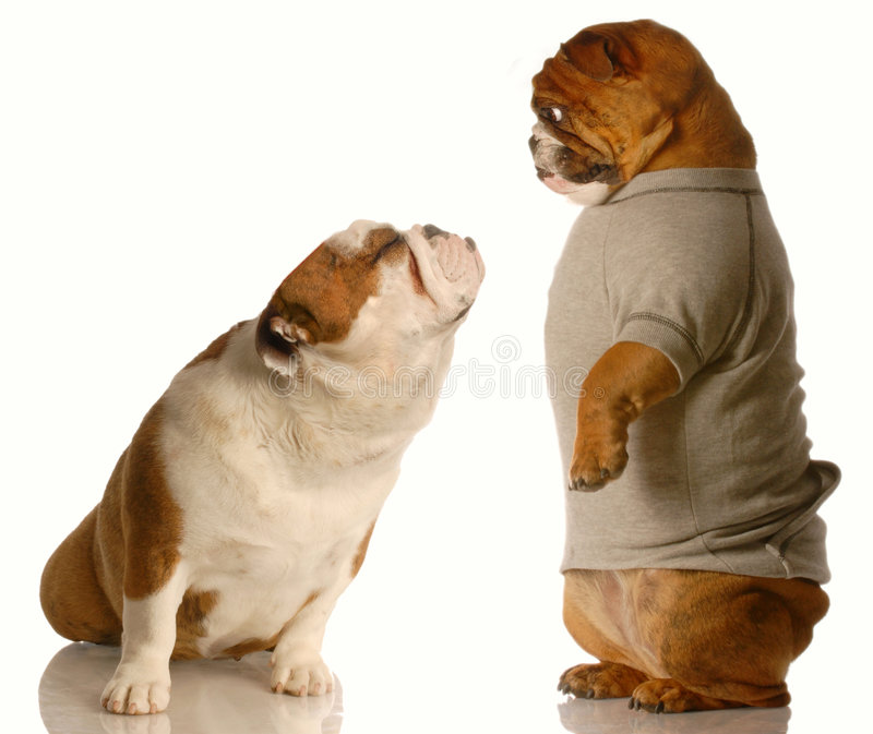 Puppy love. English bulldog looking down at another one that has it face turned up with a kissing face stock images