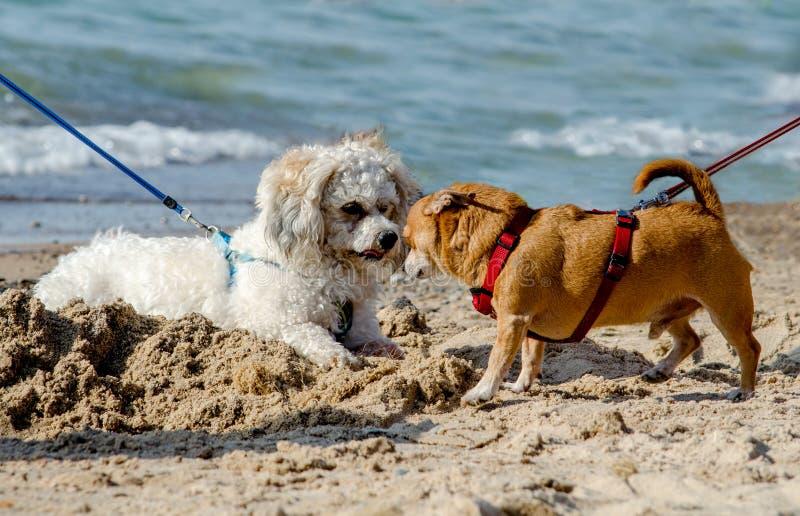 Puppy love on the beach stock photo