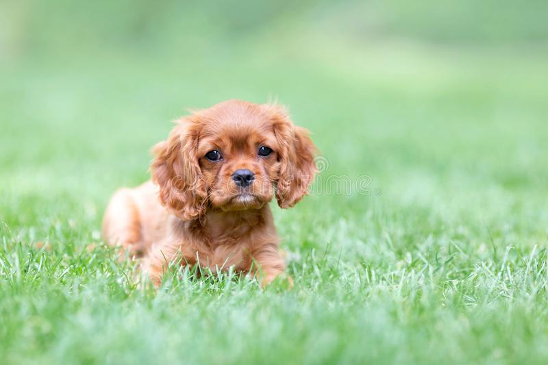 Puppy lying on the grass in the garden royalty free stock photo