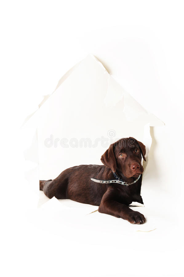 Puppy lying in a hole of paper house on a white background stock photo