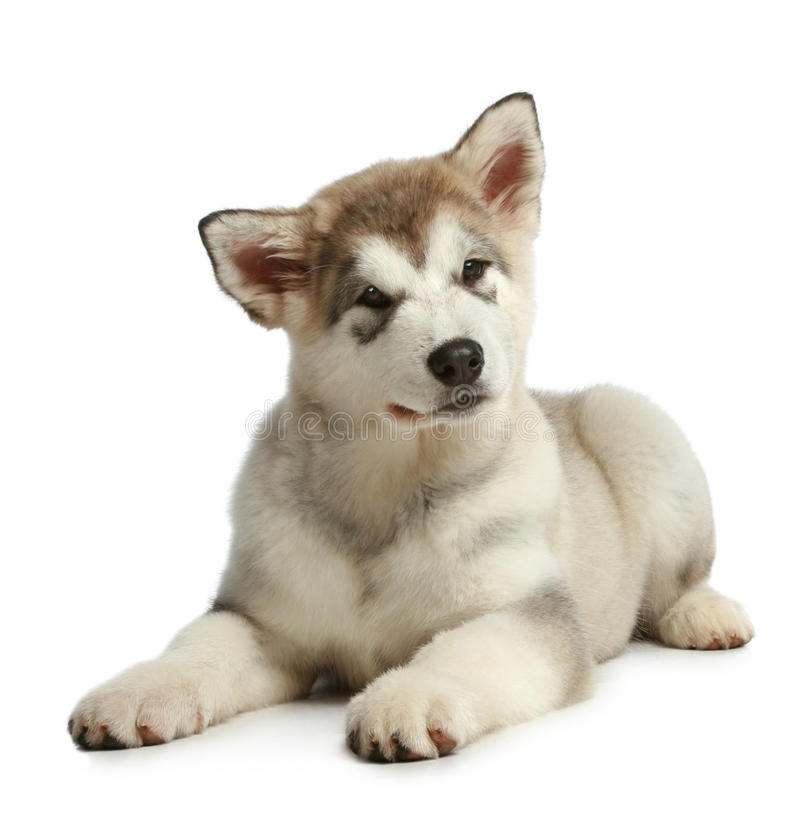 Free Puppy Malamute (3 Months) Stock Photos - 17375673