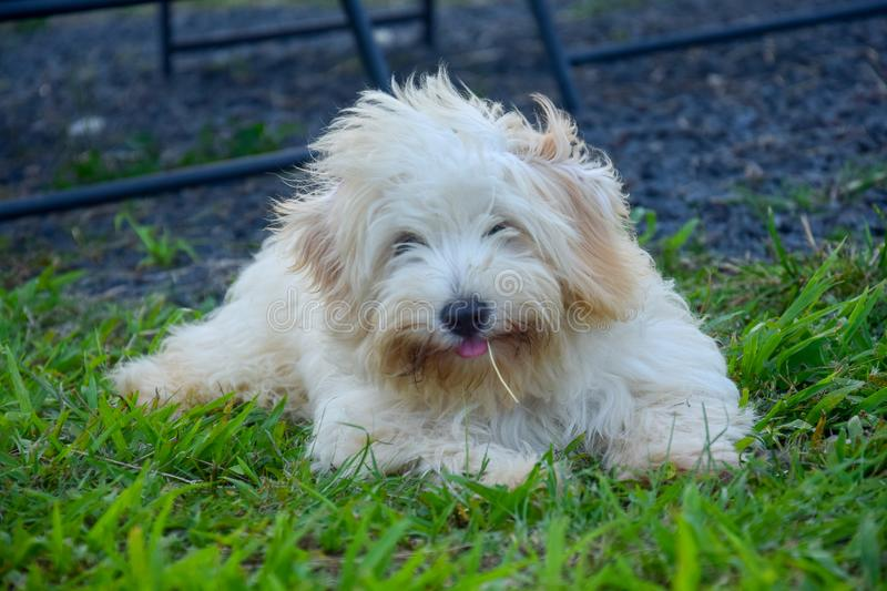 Puppy Maltese bichon slept in the grass. Sticks out the tongue royalty free stock image