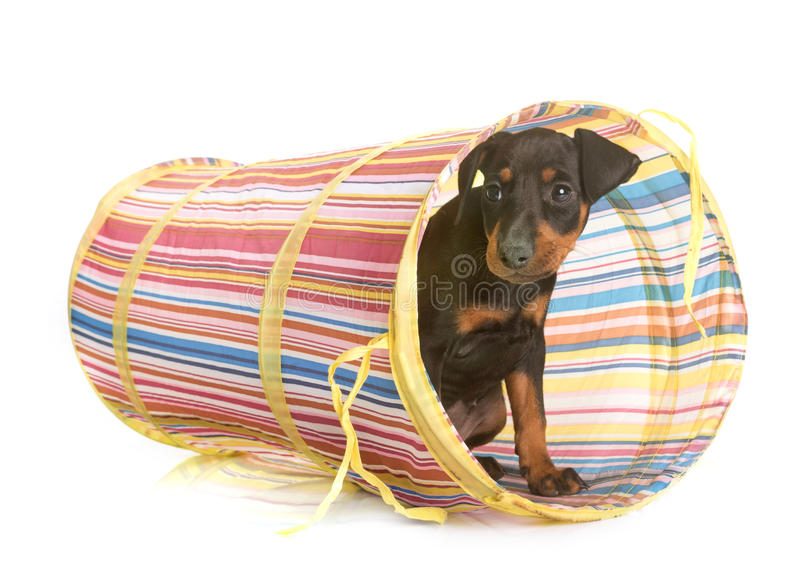 Puppy manchester terrier stock images