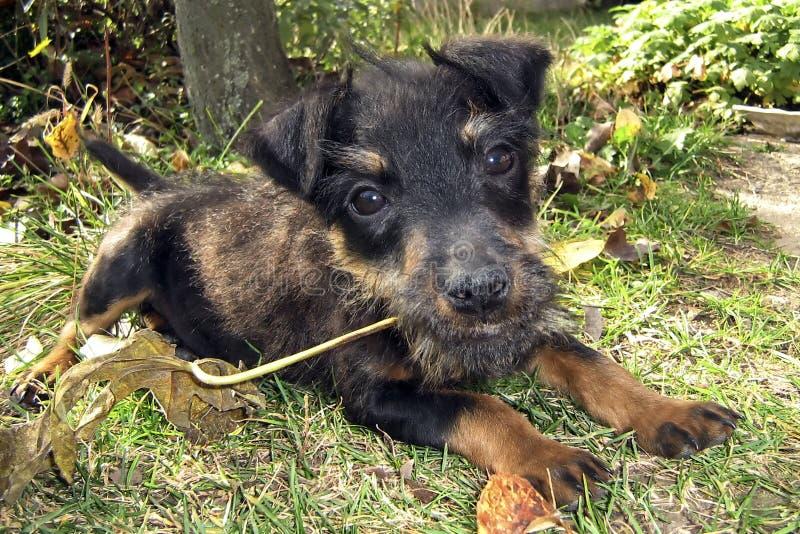 Puppy met blad in mond stock afbeelding