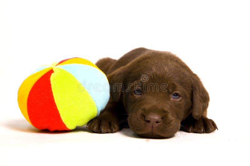 Puppy met een bal stock foto's