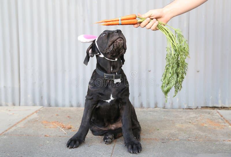 Puppy met konijntjesoren en wortelen royalty-vrije stock foto's