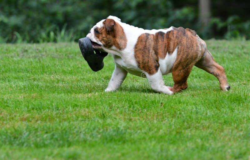 Puppy met schoen royalty-vrije stock fotografie