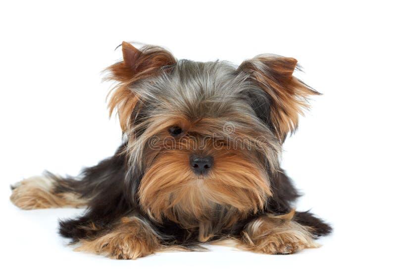 Puppy met zwarte neus stock fotografie