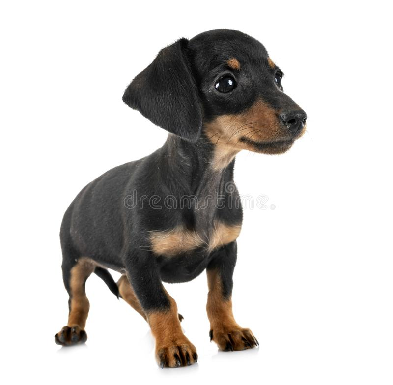 Puppy miniature dachshund stock photo