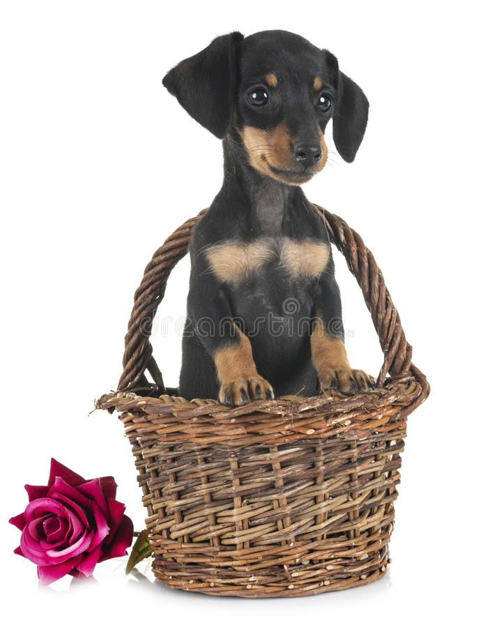 Puppy miniature dachshund royalty free stock images